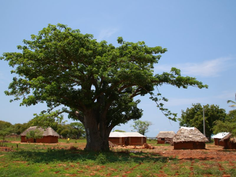 Natural Wild Harvested Baobab from Kenya